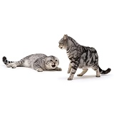 Aggressive silver tabby cats