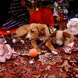 Puppy playing by Christmas tree