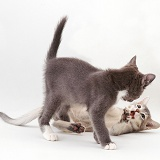 Kittens play-fighting
