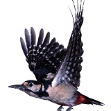 Great-spotted Woodpecker in flight