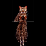 Bengal cat looking in mirror