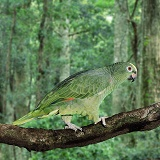 Yellow-fronted Amazon Parrot