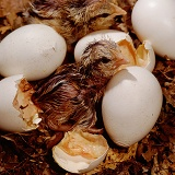 Red Jungle Fowl chick in nest