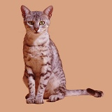 Egyptian Mau female cat