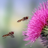 Hoverflies and spear thistle