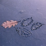 Leaf impressions in ice