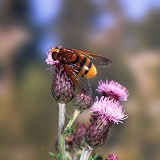 Giant hoverfly