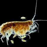 Freshwater Shrimp with young