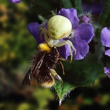 Crab spider with bumblebee