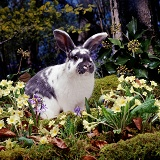 Blue-spotted rabbit among Primroses