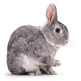 Silver Fox buck rabbit