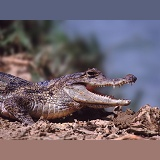 Caiman on a riverbank