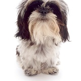 Black-and-white Shih-tzu