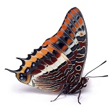 Two-tailed Pasha Butterfly