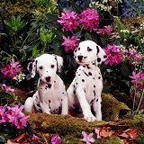 Dalmatian pups among Rhododendron flowers
