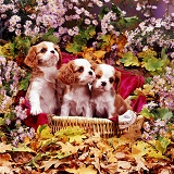 Cavalier King Charles pups among flowers