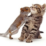 Baby Grey Squirrel kissing a tabby kitten