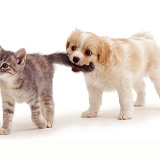 Puppy pulling kitten's tail