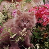 Chocolate kitten among flowers