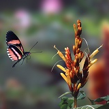 Heliconius butterfly in flight