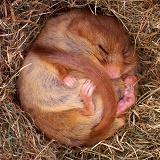 Dormouse hibernating
