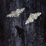 Peppered Moths on charred wood