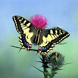 European Swallowtail Butterfly on thistle