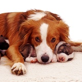 Border Collie with pups