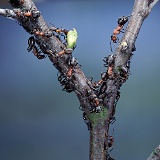 Wood Ants and birch aphids