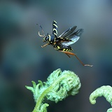 Wasp Beetle in flight