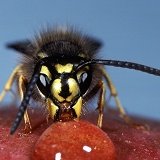 Common Wasp worker on apple