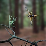 Wood Wasp in flight