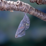 Red Admiral hatch - pupa ready
