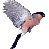 Bullfinch in flight