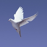 White pigeon in flight series - 3 of 7