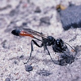 Sand Wasp excavating