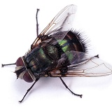 Giant Greenbottle Fly