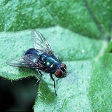 Greenbottle Fly basking on a leaf