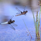 Dragonflies flying over a pond