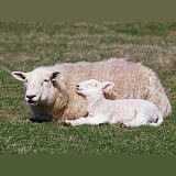Sheep and sleepy lamb