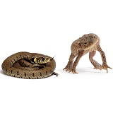 Toad defensive at Grass Snake