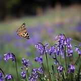 Painted Lady Butterfly flying over bluebell flowers