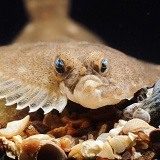 Plaice full face portrait