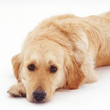 Golden Retriever with its chin on the ground