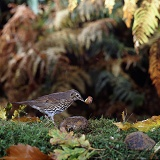 Song Thrush cracking snail