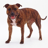 Brindle Staffordshire Bull Terrier
