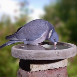 Woodpigeon drinking from birdbath