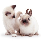 Cute Birman kitten and rabbit