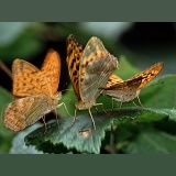 Silver-washed Fritillary mating pair and extra male