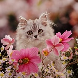 Persian kitten among pink flowers